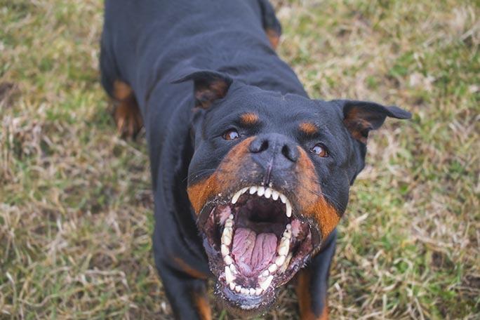 Aggressive Rottweiler barking mad